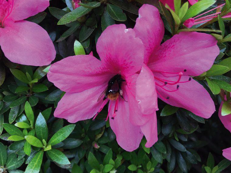 ↑花によってきたハチを接写した。Galaxy S7 edgeのほうが被写体の細部を鮮明に表現できている。