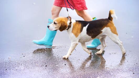 日本には大の愛犬家が多数!? 6割以上の飼い主が雨の日も散歩に行くことが判明