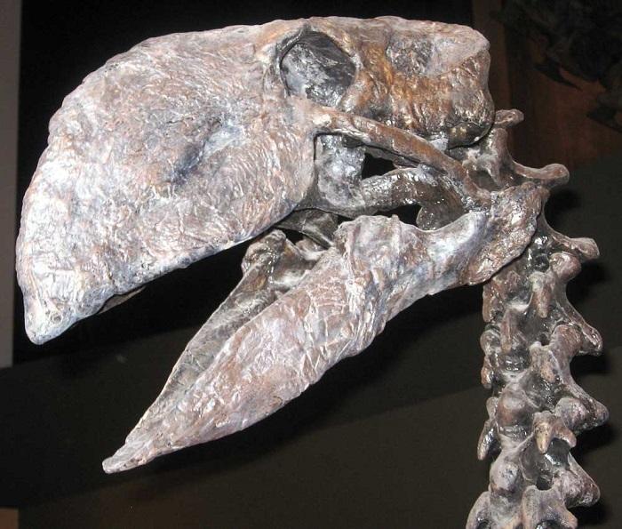 ↑恐鳥類ディアトリマの頭部骨格