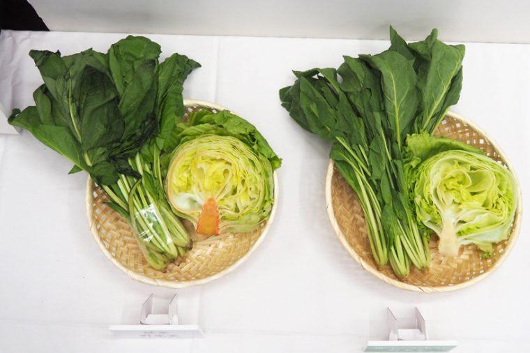 ↑従来の野菜室(左)と、雪下シャキット野菜室(右)で一週間保存した野菜の比較。従来の野菜室ではレタスが変色し、ほうれん草がしなびているが、雪下シャキット野菜室では新鮮なまま保存できている