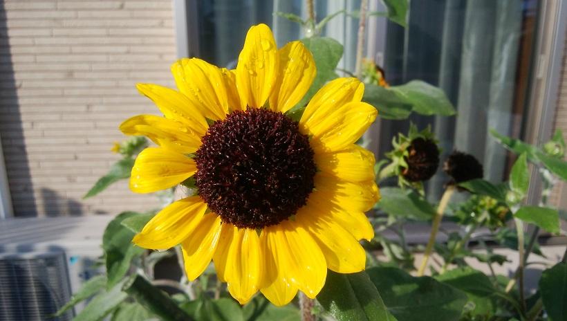 ↑「arrows M03」で撮影。解像感は必要十分。黄色い花びらの発色が美しい