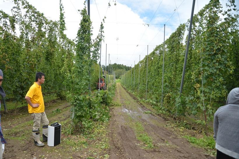 ↑これがホップのつる。柵に沿うように高く伸びて生い茂り、緑のカーテンをつくりあげています
