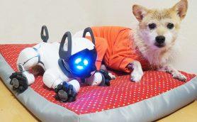 最新犬型ロボットはドッグカフェで友達ができるのか? 本物との違いを元ドッグカフェオーナーが徹底検証!!