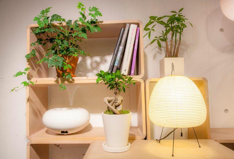 """↑つる系、樹木系、群生系とタイプの異なる植物をリズムよく配置したコーディネート例。エレンダニカはあえて前面に置くことで三次元的に空間を使用。鉢から茎がつる状に伸びるタイプの植物は日光にも当てやすいので棚の中に置いても育てやすい。左/""""エレンダニカ""""¥3,348、中央/""""ガジュマル""""¥6,912、右/""""パキラ""""¥4,212"""