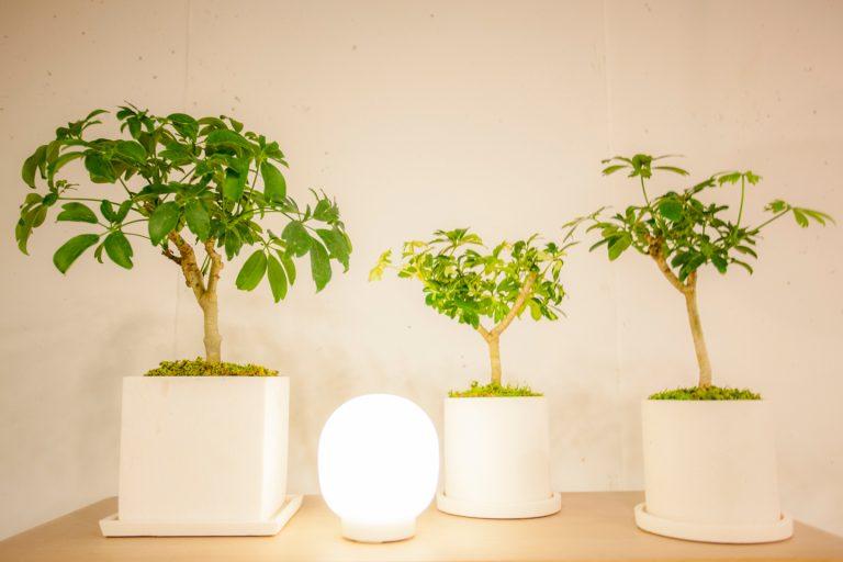 """↑""""シェフレラ・レナータ""""を3種類。中央は斑入りの品種。ワンポイントを入れることで同種の植物を並べてもリズムが生まれ絵になる。価格は左/¥7,344、中央/¥3,564、右/¥3,564"""