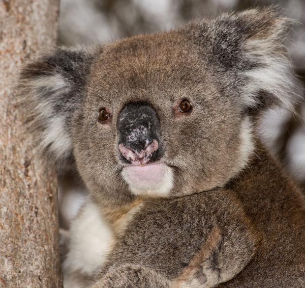 45011346 - wild koala on a tree portrait