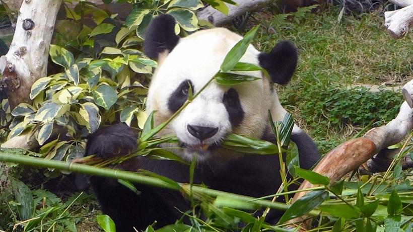 """↑どこへ行っても""""別格""""扱いのパンダ。ここでもほかの動物を見るのは無料でもパンダだけは有料。建物も専用で、中は空調が効いていてとても涼しい"""