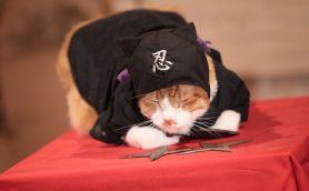 """ニャンてかわいいんだ! 『猫忍』&『猫侍』の主役猫たちがいやしの""""忍者コス""""を披露!!"""