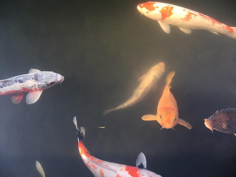 ↑偏光フィルターを取り付け、水面を撮影。鯉がしっかり見えるように効果の度合いを変えながら撮影した。青空をより青く撮影するときなどにも効果的だ