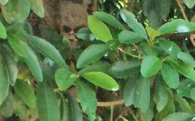 【ムー妖怪情報】ついにキジムナーの撮影に成功か!? 沖縄の樹木に写りこむ骸骨のナゾ