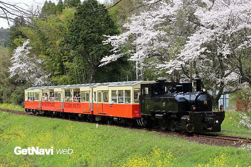 ↑SL形の機関車が客車を連結して走る小湊鐵道「里山トロッコ」。春先は桜と菜の花が一緒に楽しめる
