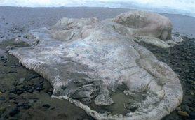 【ムーUMA情報】「海洋生物や植物ではない」なら何なんだ!? 海岸に漂着した怪生物の死骸「グロブスター」のナゾ
