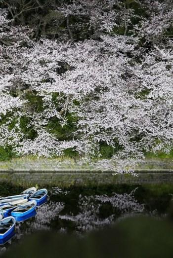 ↑堀に向かって垂れ下がるように咲く桜。水面に映った桜もまた、とても美しく、この水鏡を使わない手はありません。水面に映る部分を構図の中でもっと多くする、あるいはいっそ水鏡だけ撮ってみても