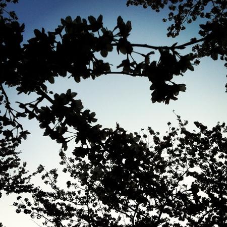 ↑逆光(太陽が被写体=桜を挟んでカメラの対向にある)は、特に自撮りのときなど撮影にはあまり好まれませんが、あえて活用してみると、桜が上の写真のようにシルエットになったり、ぼんやりと白くやわらかく写ったり、目で見る桜とは違う姿を写し取れます