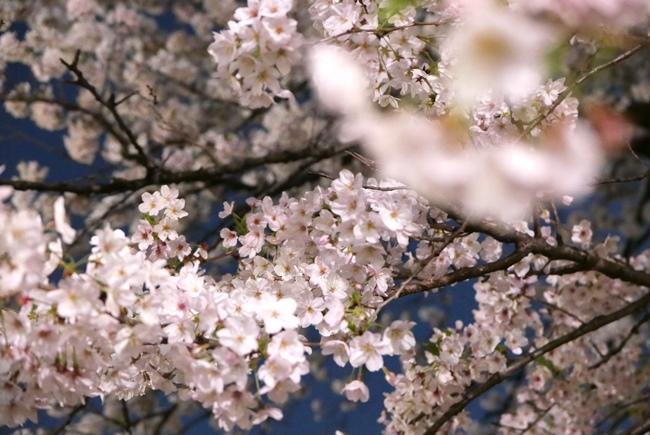 ↑ 1本の大きな桜の木。低い位置にある花をレンズの端に入れつつ、遠くの高所にある花にピントを合わせます。距離が離れているほど強くボケるので、より奥行きが出せるように