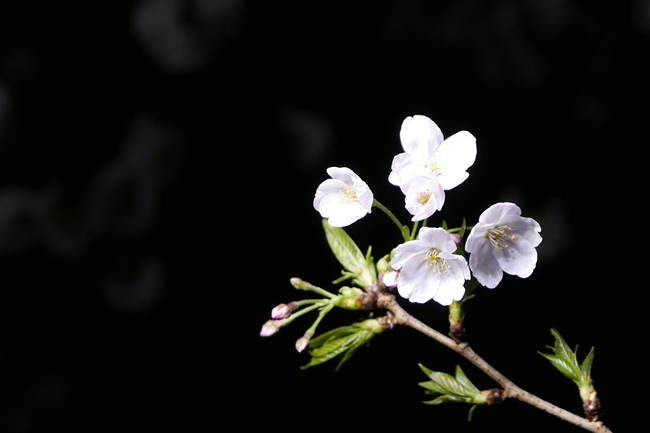 ↑枝の先に咲いた桜を、余白を多くとって撮影したもの。ちなみに夜桜を撮るなど、背景が暗いほど、桜の花びらの白さや形の美しさが際立ちます