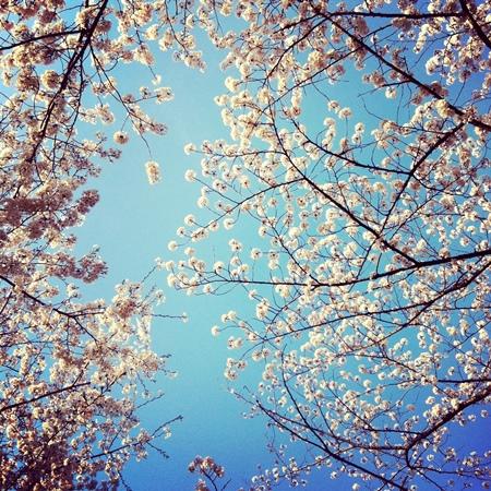 ↑ 見上げると、空を背景に桜が美しく咲いている姿を確認できるでしょう。背景となる空を少し多めに入れて、遠くの枝の先をまとめて撮れば、空に桜がよく映えます