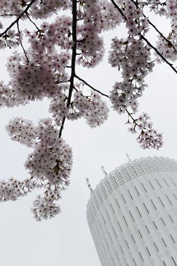 ↑桜を下から見上げた先に、タワービル。自然の桜と人工的な建物とのコントラストが、桜の美しさを際立たせます