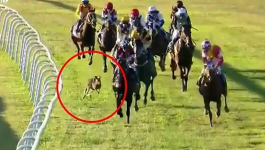 やっぱりオーストラリア! 競馬のレースにカンガルーが乱入、ピョンピョン跳ねる