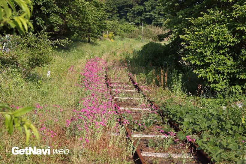 ↑(震災後)阿蘇下田城ふれあい温泉駅から高森方面を望む。列車が走らない線路上にはピンクの花が咲き、のどかな風景が広がる