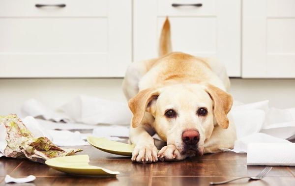 48628911 - naughty dog - lying dog in the middle of mess in the kitchen.