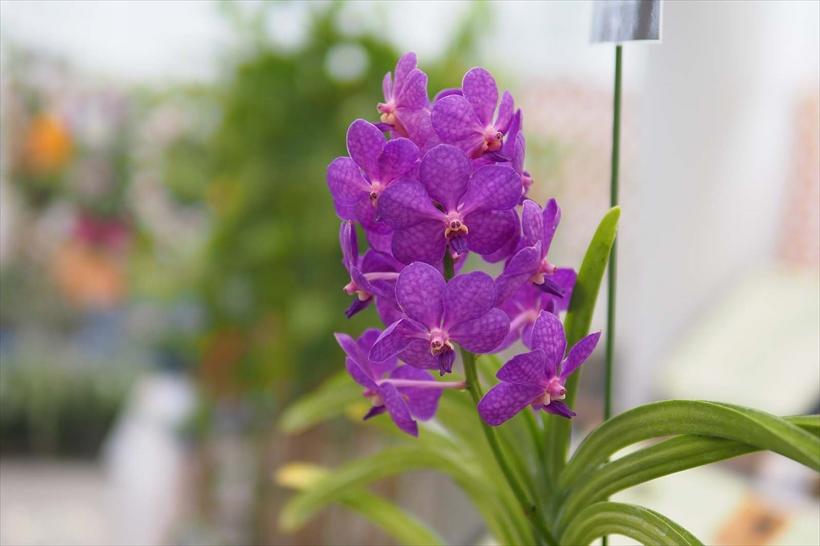 ↑50mm相当前後の画角は、目の前の被写体を観察しながら撮るのにも適している。ここでは、温室内のランの中から、容易に近づける紫色の花に注目した。F1.4開放の大きくて美しい背景ボケが、この花の存在感を高め てくれている。60mm相当 絞り優先オー ト(F1.4 1/640秒) ISO200 WB:オート