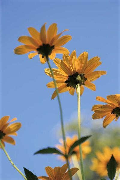 ↑バリアングルモニターを使い、縦位置による極端なローポジション&ローアングル撮影を行ってみた。これにより、青空を背景にすることができ、黄色の花の存在感を高めることができた