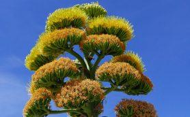 50年に一度の「奇跡の開花」に感動! あの「パリピ酒」の原料でもある「リュウゼツラン」の神秘