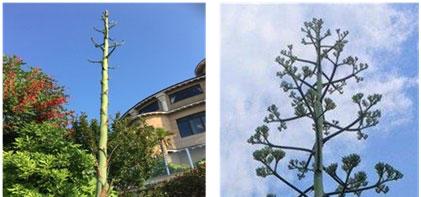 ↑江の島アイランドスパの「ドラゴン広場」にあるリュウゼツラン。右写真は7月6日時点
