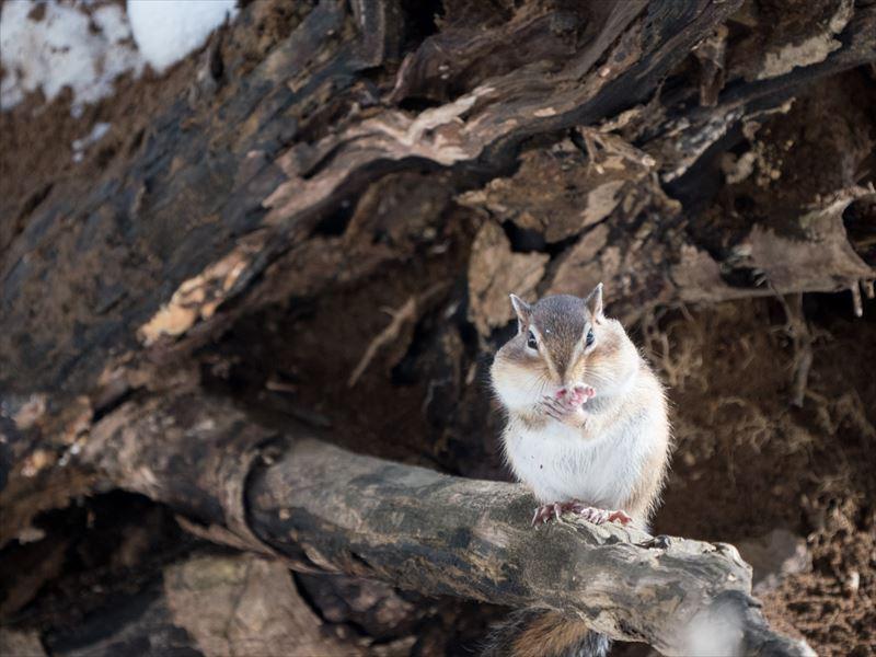 ↑ちょこまかと動きまわる野生のリスをシャープに捉えるには高速シャッターが必須だ。薄暗い森の中なので、感度をISO1600までアップして、絞り優先オートを使って絞りは開放にセットし、1/800秒で撮影した