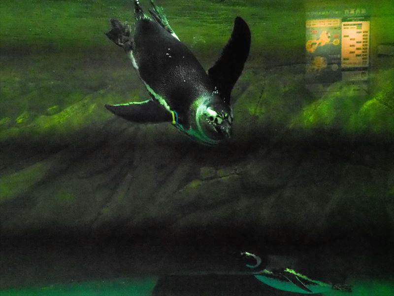 ↑水族館の室内照明の元では、高速の電子シャッターを使うとフリッカー現象によって、写真に縞模様が入ってしまう。機械シャッターでもフリッカーの影響が見られたが、電子シャッターに比べれば少ない
