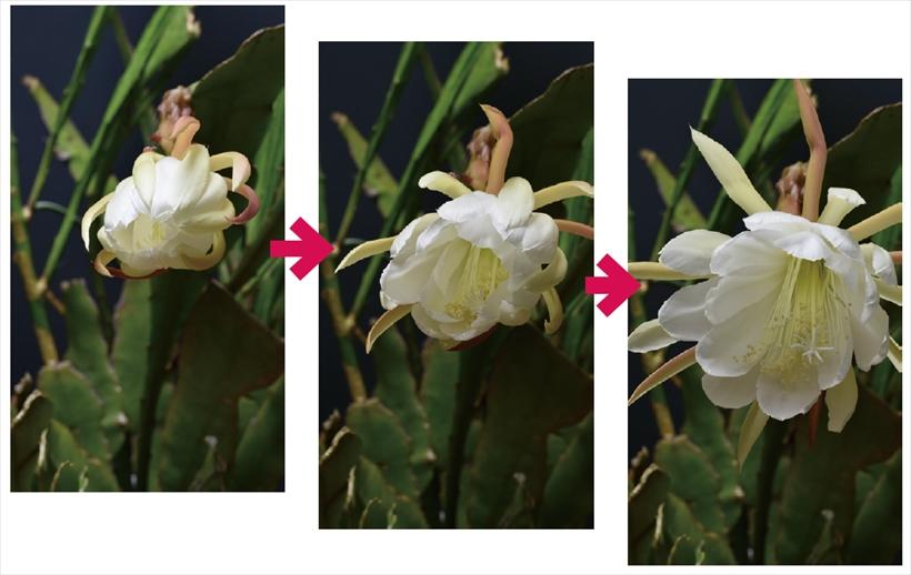 ↑開花/撮影間隔1分、撮影約4時間、再生約7秒。花の咲くタイミングがわからないので、数日に渡って撮影を繰り返した。花の咲き始めから咲くまでの時間は3~4時間程度であったが、タイムラプス動画にしたことで、数秒で咲いたかのような印象になり、面白い動画になった