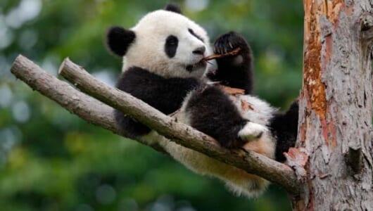 """ジャイアントパンダはなぜ""""ジャイアント""""なのか? その秘密はあの人気者の存在にあった!"""