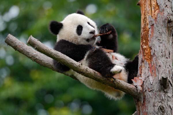 51633302 - lying cute young giant panda feeding feeding bark of tree