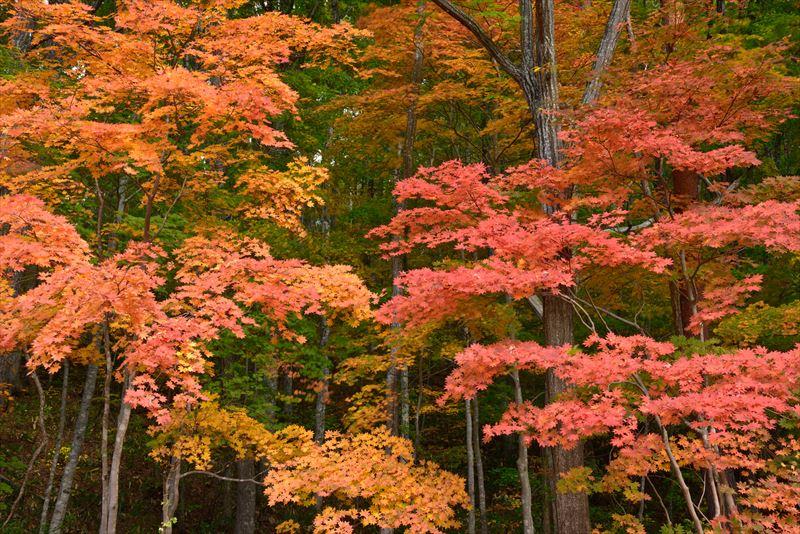 ↑曇天なら、深い色の紅葉が狙える