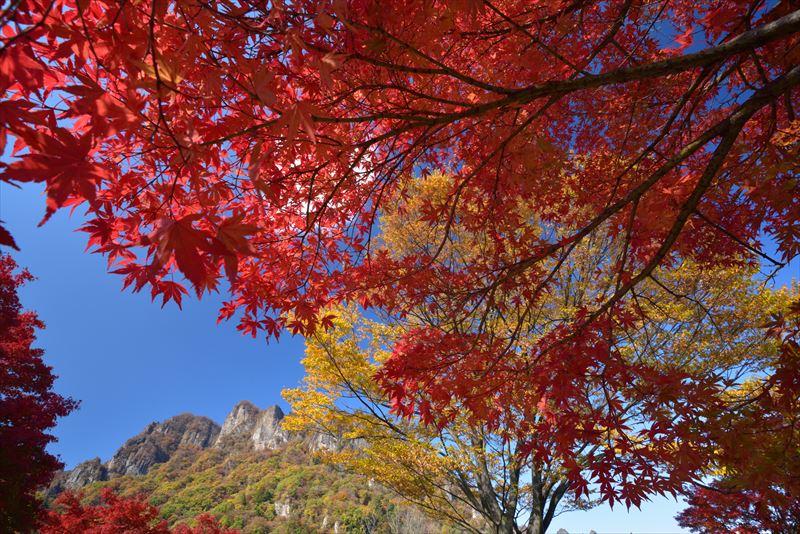 ↑妙義山の岩峰を背景にして、紅葉したカエデを広角レンズで見上げるアングルで撮影。広い画角により、空や木々の広がりが生きている