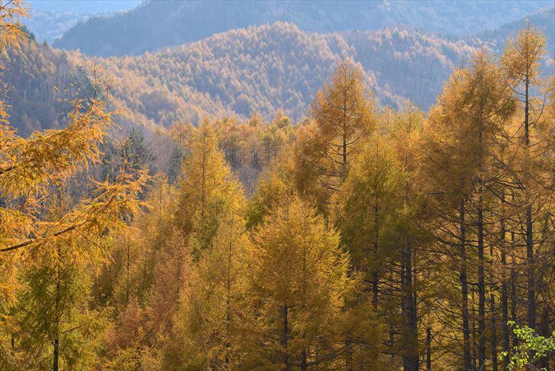 ↑逆光線に輝くカラマツを望遠レンズで切り取る。望遠レンズの圧縮効果によって背景の山並みが引き寄せられ、黄葉の木々のボリューム感も出せた