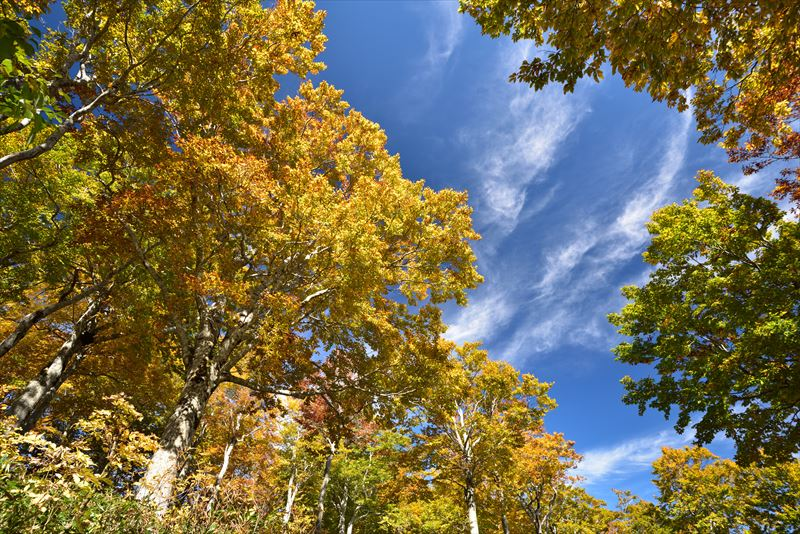 ↑WB「太陽光(晴天)」で、色濁りのない青空と目で見たイメージに近い紅葉の色を捉える。仕上がり設定は「風景」モードにして、紅葉の鮮やかさを引き出した。