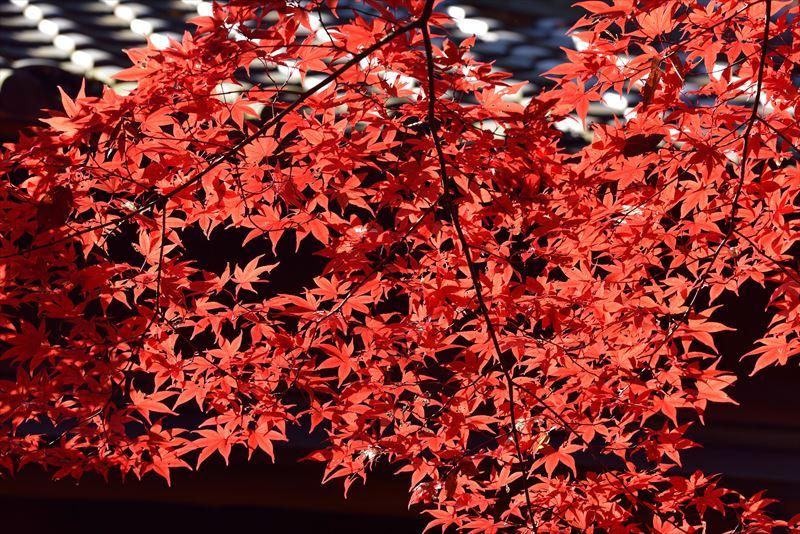 ↑逆光を受けた紅葉の鮮やかな色を狙う。日陰の背景を選ぶことで明暗のメリハリが生まれ、紅葉が引き立ち、インパクトのある姿で捉えられた