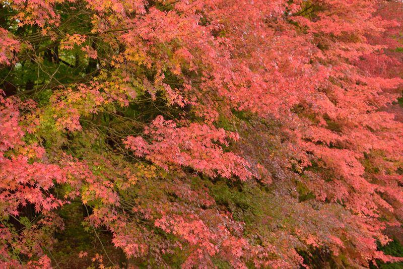 ↑曇天の拡散光により、強い影が出ることなく、カエデの優しい質感を捉えることができた。紅葉といっても橙、緑、黄など、赤以外にもさまざまな色を持っていることが伝わってくる