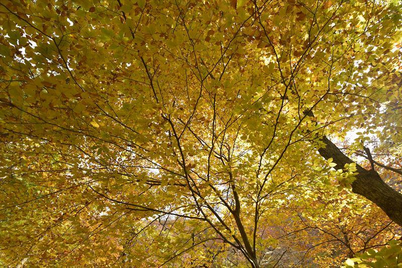 ↑上の写真は露出補正をしていない、「±0」の状態。下の写真はプラス1.3補正したもの。曇り空を背景にしてブナの黄葉を撮影すると、補正なしではかなり暗く写ってしまった。プラス1.3補正すると明るく爽やかになった