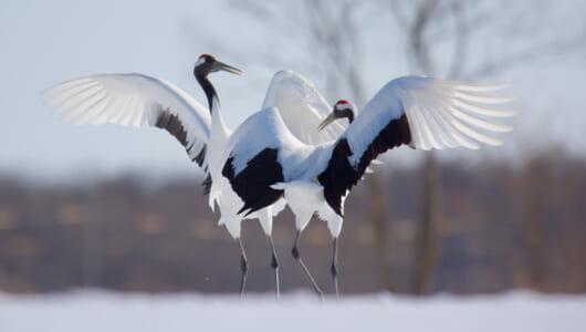 白銀の世界で繰り広げられる、熱い、熱い「タンチョウのダンス」って知ってる?