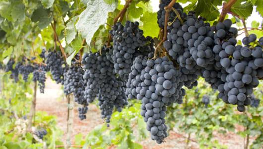 酸味と甘みのバランスが絶妙な「山ぶどう」! 濃~い原液や赤ワインでアンチエイジング