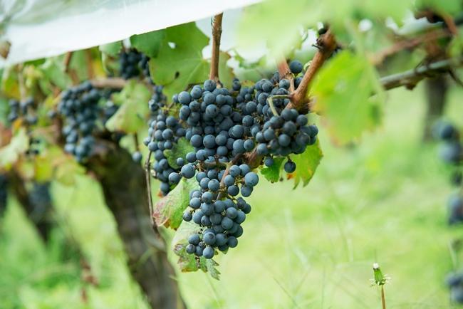 今年の収穫はこのカベルネ・ソーヴィニヨンを最後に、すべての収穫作業が終了