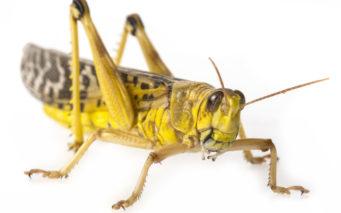 69586975 - schistocerca gregaria - the desert locust - food insects