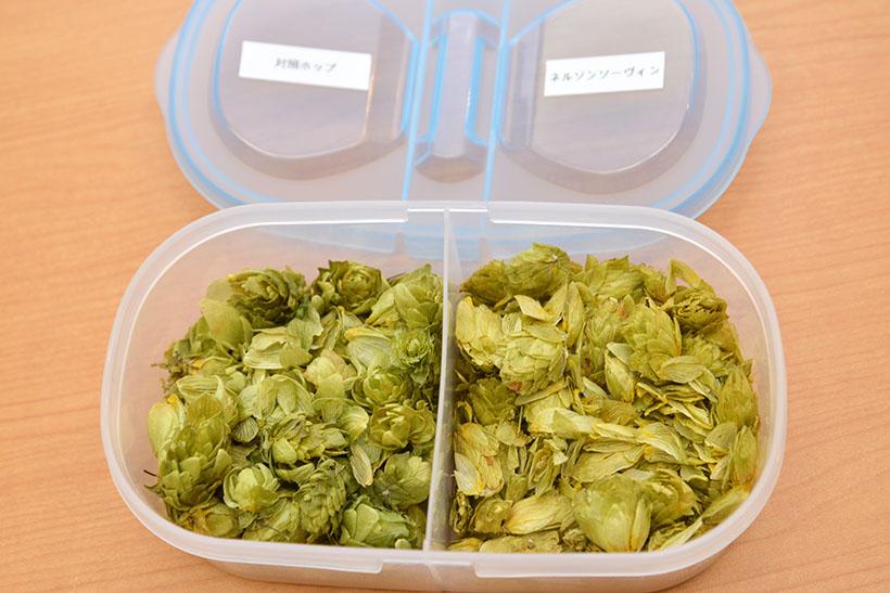 ↑使われているホップの乾燥球花を比較。左の「対照ホップ」に比べ、右の「ネルソンソーヴィン」はグリーン系のみずみずしさのなかに、白ブドウや青リンゴのような爽やかで甘いアロマが感じられます