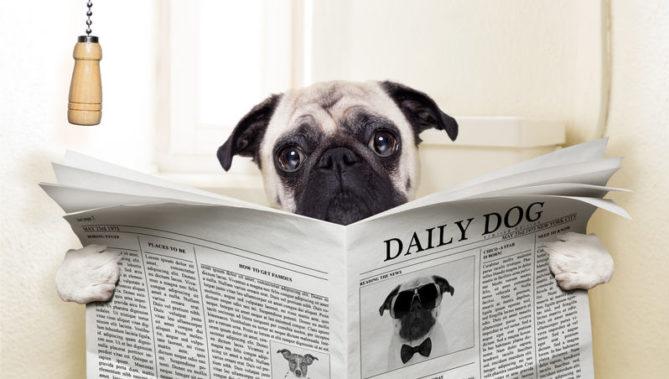 31444406 - pug dog sitting on toilet and reading magazine having a break