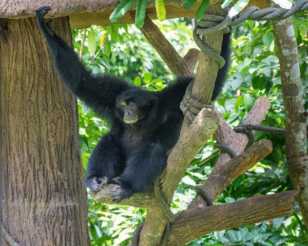 63987741 - gibbon monkey species sitting in tree seen in singapore