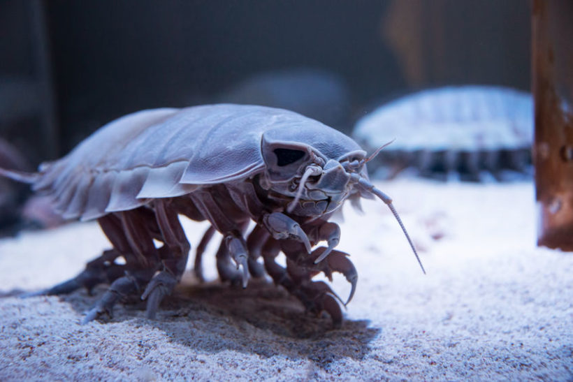 71834610 - terrifying sea beast: bathynomus giganteus or giant isopod