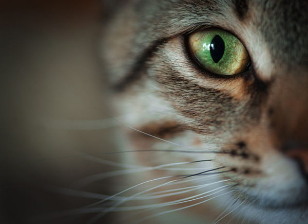 39655542 - closeup of tabby cat face. fauna background